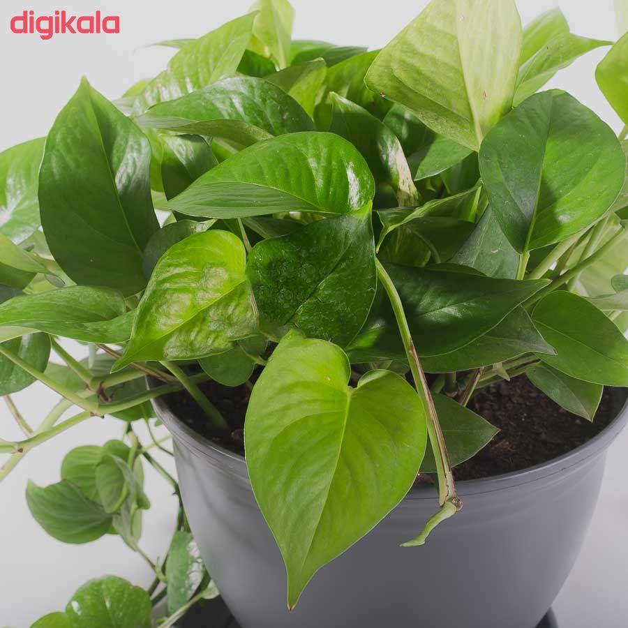 گیاه طبیعی پتوس مدل P-12 main 1 1