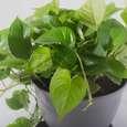گیاه طبیعی پتوس مدل P-12 thumb 1