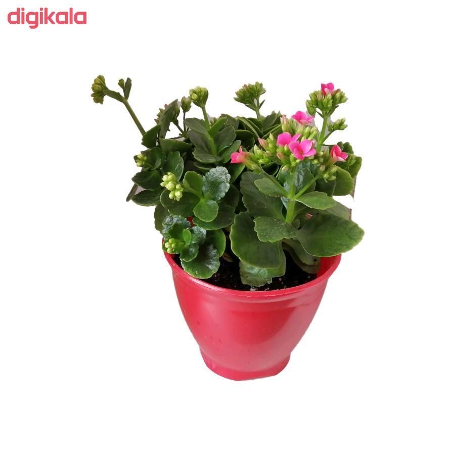 گیاه طبیعی کلانکوا کد ap01 main 1 1