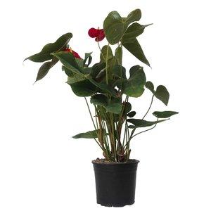 گل طبیعی انتریوم کد 106