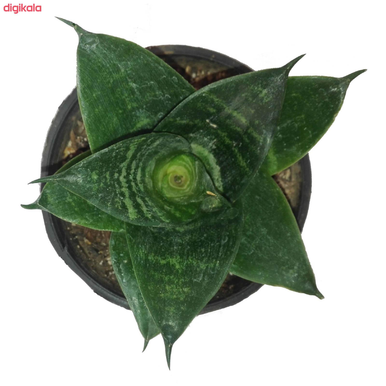 گل طبیعی سانسوریا پا کوتاه سبز کد 103 main 1 1