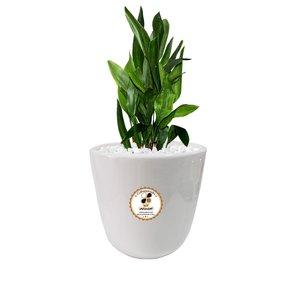 گیاه طبیعی عبایی گلباران سبز گیلان مدل GN12-6S