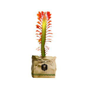گیاه طبیعی افوربیا گل صورتی گلباران سبز گیلان مدل GN13-25K