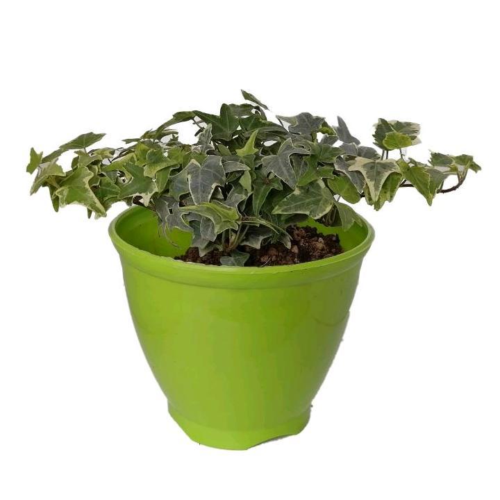 گیاه طبیعی پاپیتال کد wp02