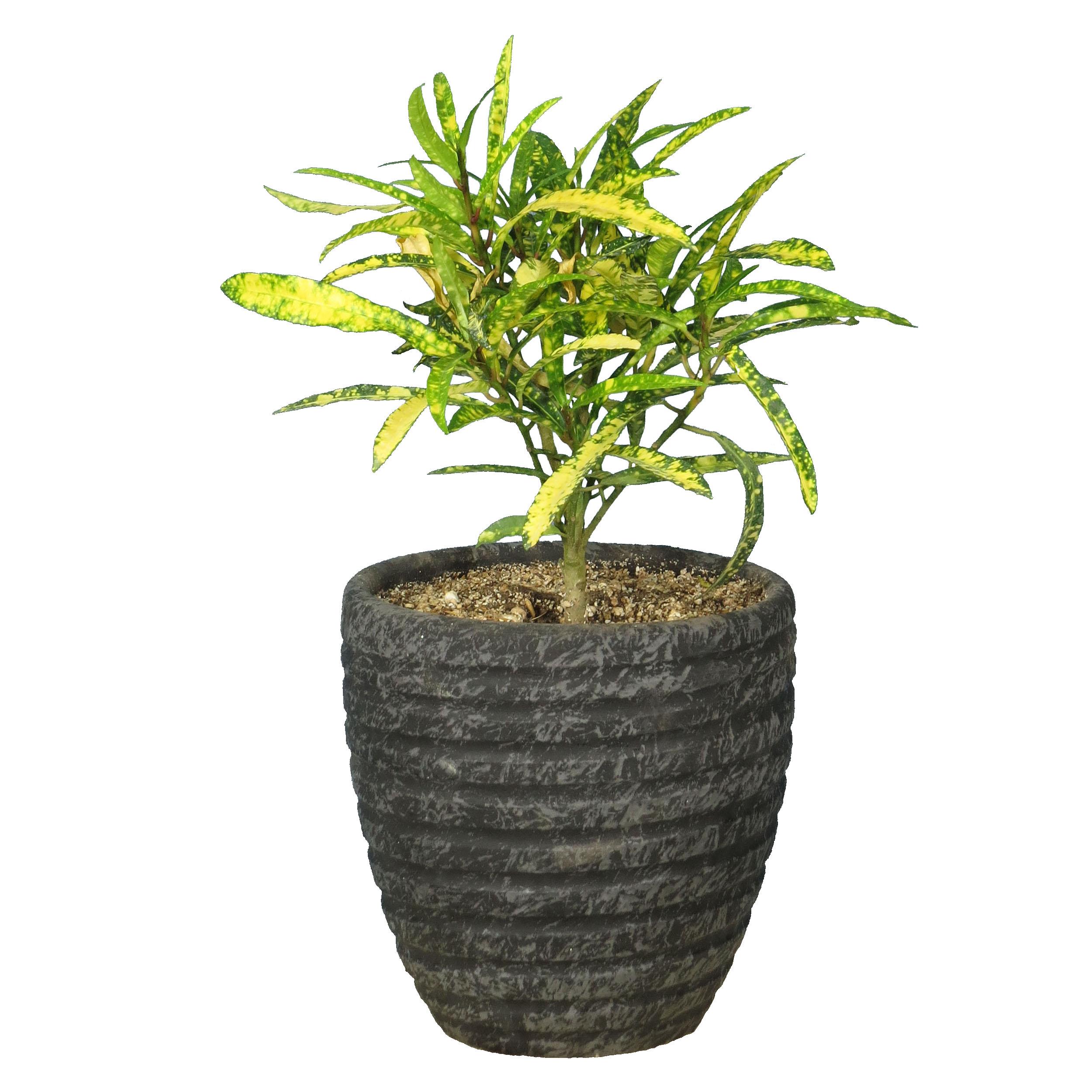 گیاه طبیعی آکوبا رشته ای کد AS-21