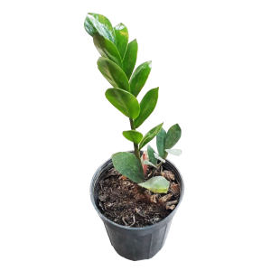 گیاه طبیعی زاموفیلیا سبز کد 120
