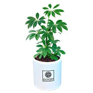 گیاه طبیعی شفلرا سبز گل گیفت کد GP011