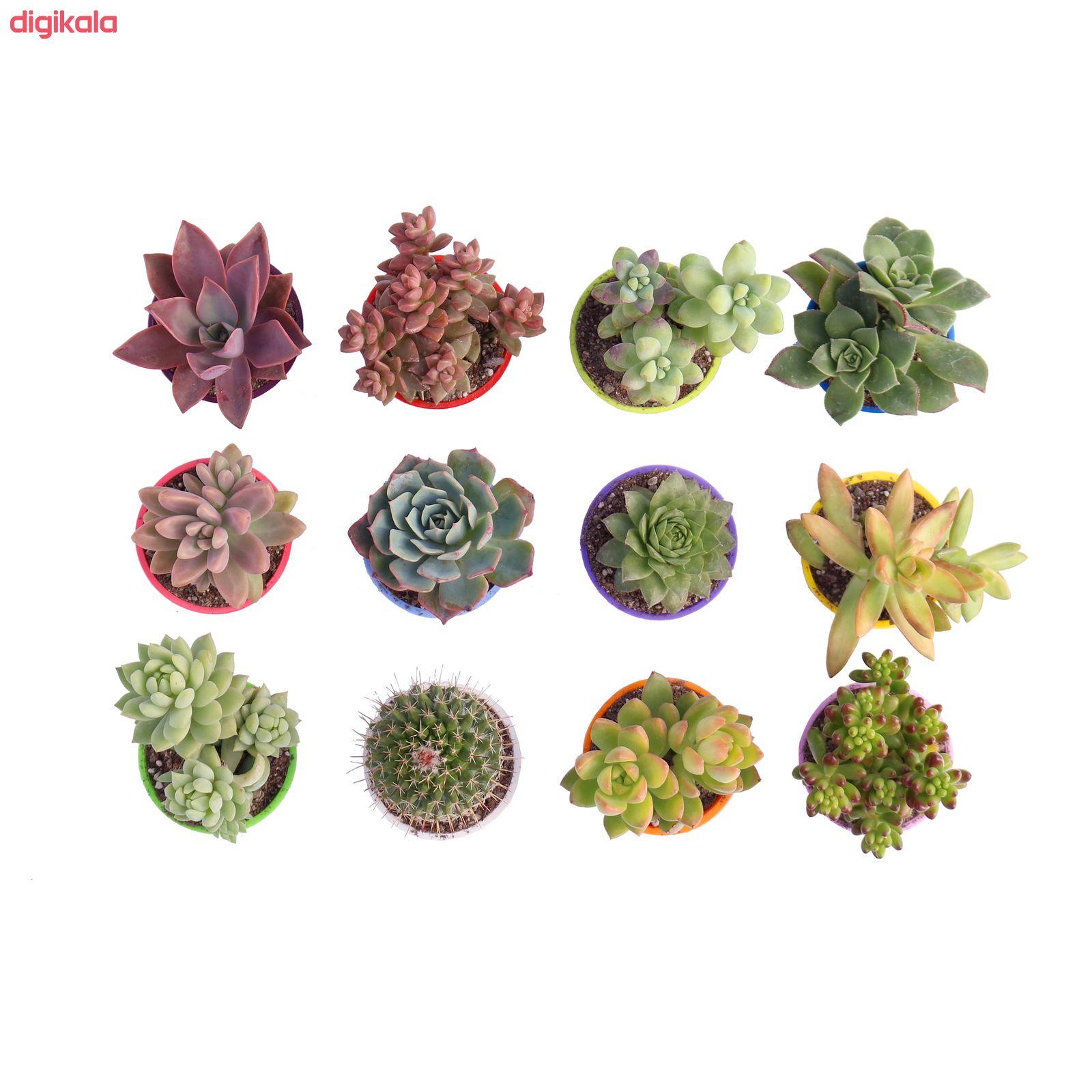 گیاه طبیعی کاکتوس و ساکولنت آیدین کاکتوس کد CB-009 بسته 12 عددی main 1 3