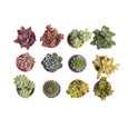 گیاه طبیعی کاکتوس و ساکولنت آیدین کاکتوس کد CB-009 بسته 12 عددی thumb 3