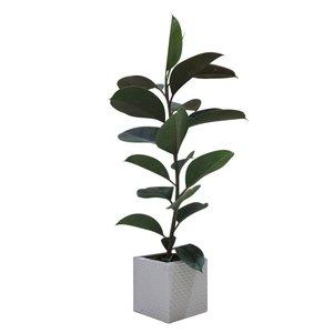 گیاه طبیعی فیکوس کد S - M01