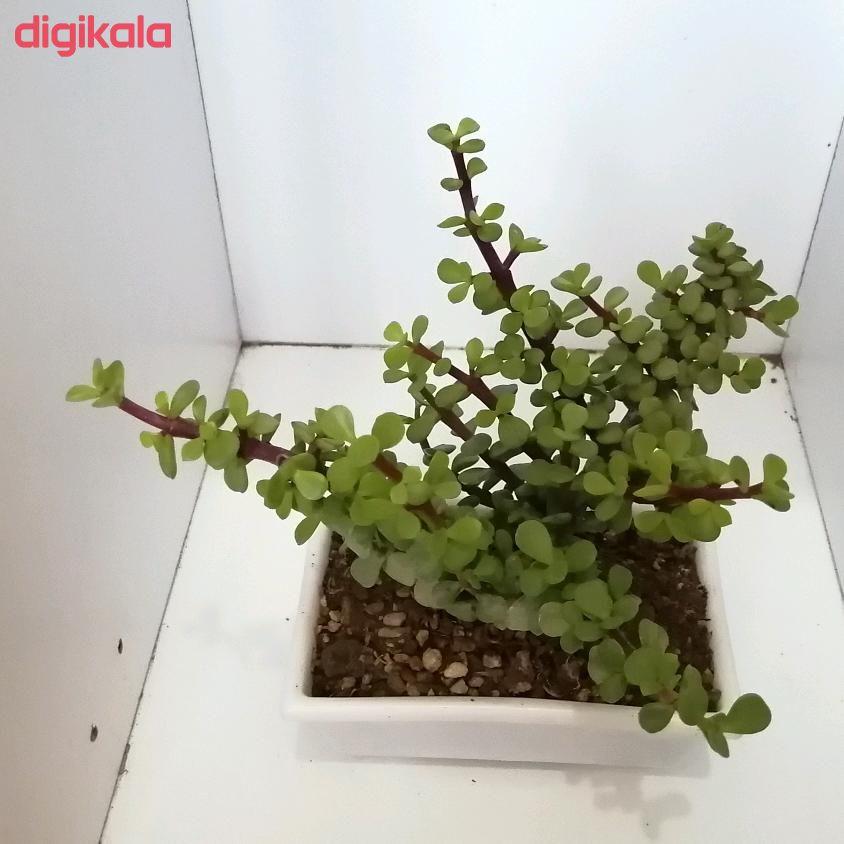 گیاه طبیعی خرفه ای کد qq14 main 1 2