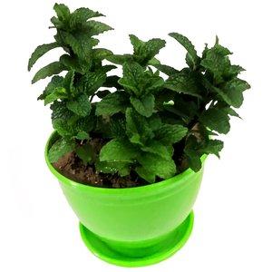 گیاه طبیعی نعنا مدل C-27