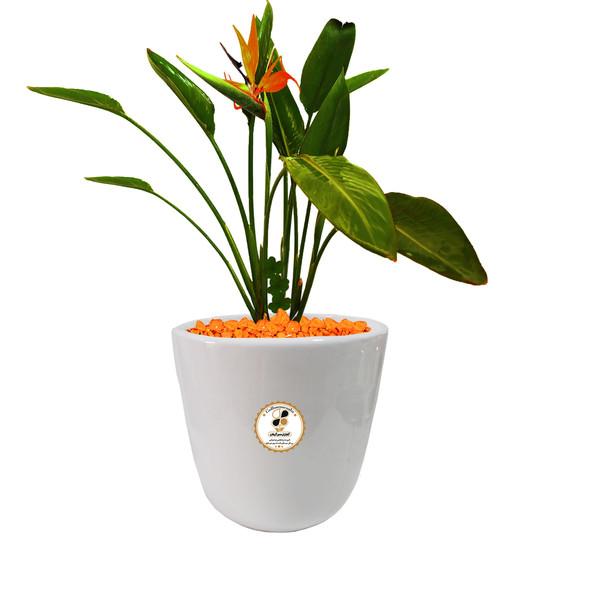 گیاه طبیعی استرلیتزیا پرنده بهشتی گلباران سبز گیلان مدل GN12-14L