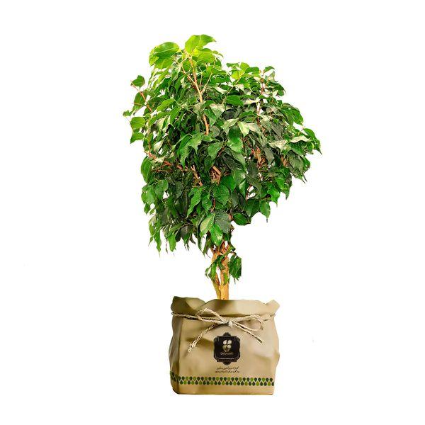 گیاه طبیعی بنجامین سبز گلباران سبز گیلان مدل GN13-12K