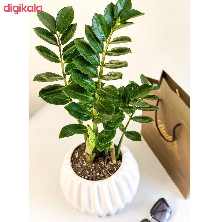 گیاه طبیعی زامیفولیا گل گیفت کد GP005  main 1 1