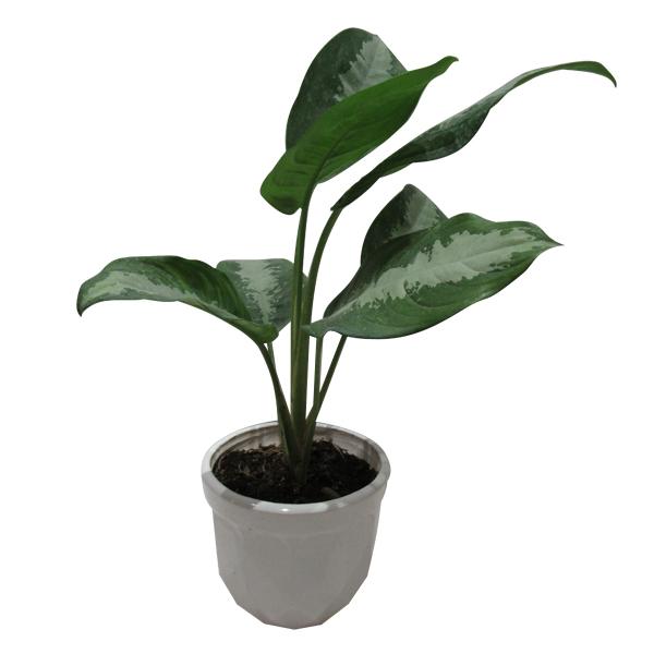 گیاه طبیعی آگلونما حبابی کد S - M01