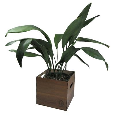 گیاه طبیعی عبایی ناردونه کد M01
