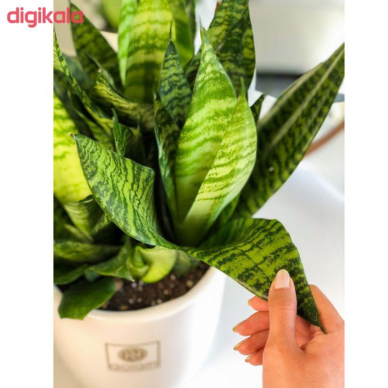 گیاه طبیعی سانسوریا کراواتی سبز گل گیفت کد GP002 main 1 1