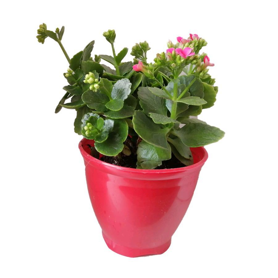 گیاه طبیعی کلانکوا کد ap01