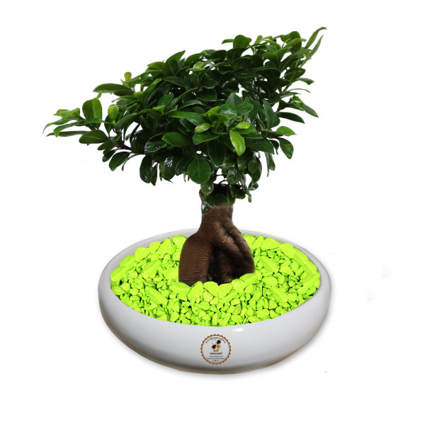 گیاه طبیعی بونسای فیکوس جینسینگ رتوزا گلباران سبز گیلان مدل GNB-FG3
