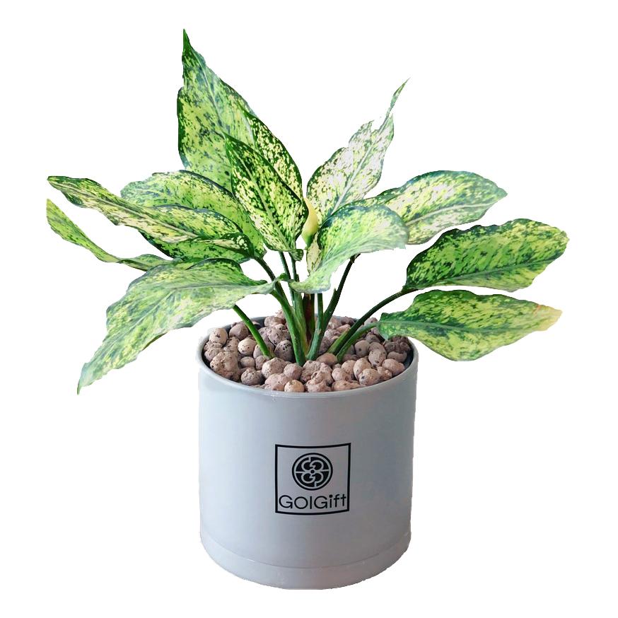 گیاه طبیعی آگلونما سفید گل گیفت کد GP007