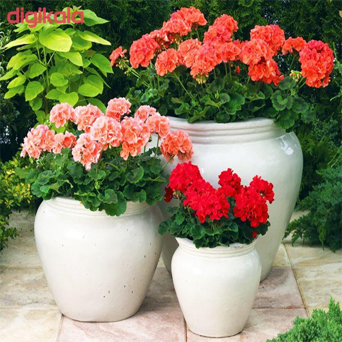 بذر گل شمعدانی پاکوتاه الوان وانیا سید مدل N76 main 1 3