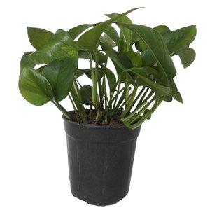 گیاه طبیعی پتوس سبز کد 101