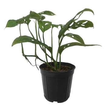 گل طبیعی پیتوس حصیری سبز کد 102