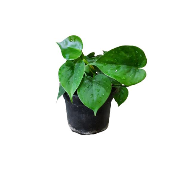 گل طبیعی اسکاندیس سبزکد Skandiss01