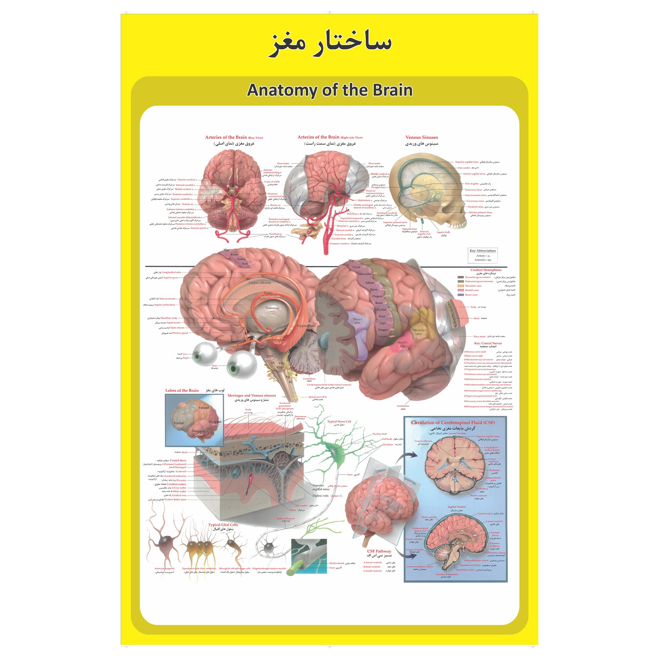 پوستر آموزشی طرح آناتومی مغز انسان