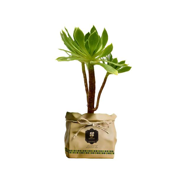 گیاه طبیعی آئونیوم گل ناز بشقابی سبز گلباران سبز گیلان مدل GN12-27BK