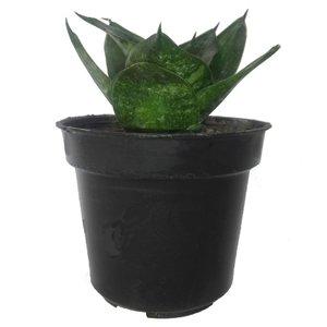 گل طبیعی سانسوریا پا کوتاه سبز کد 103