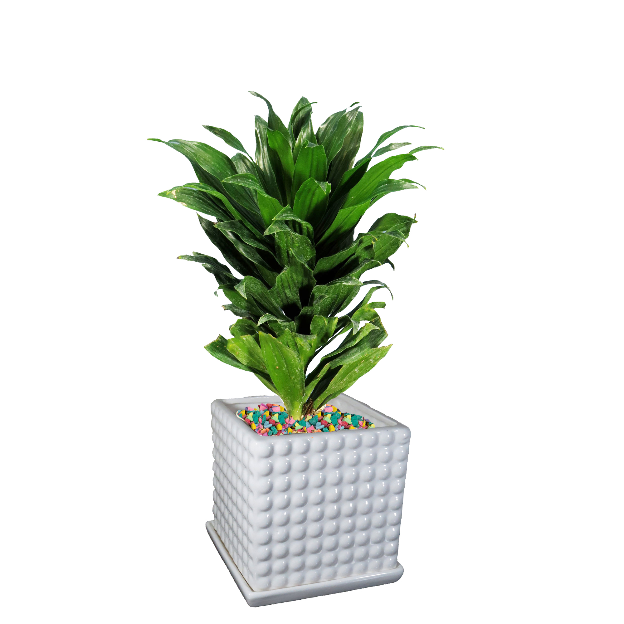 گیاه طبیعی دراسنا کامپکت کد As-16.1