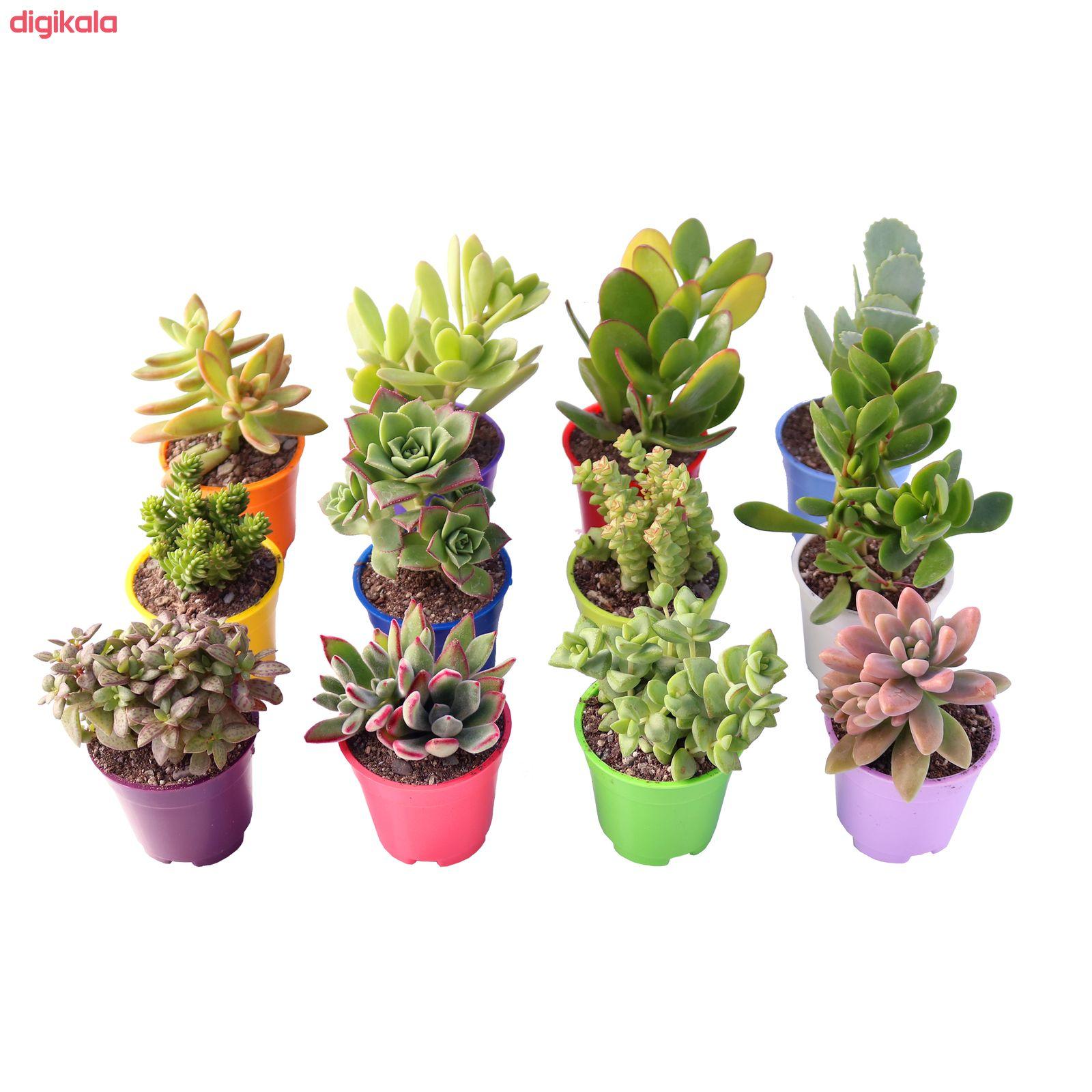 گیاه طبیعی ساکولنت آیدین کاکتوس کد CB-003 بسته 12 عددی main 1 2