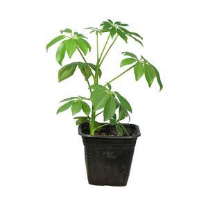 گیاه طبیعی شفلرا سبز کد23- AS