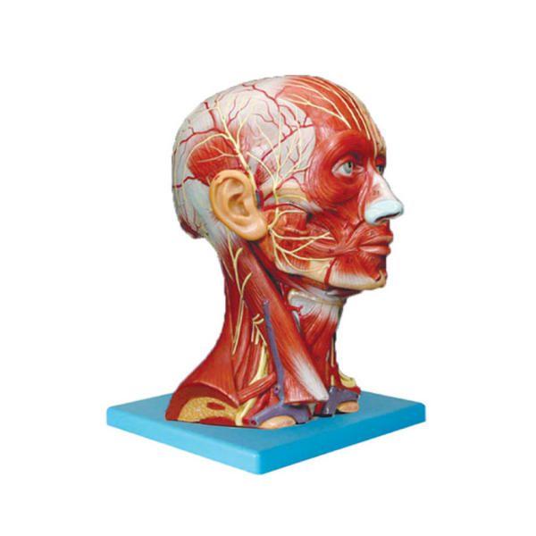 کیت آموزشی مولاژ بدن انسان مدل عضلات سر و گردن