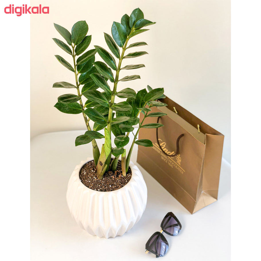 گیاه طبیعی زامیفولیا گل گیفت کد GP005  main 1 3