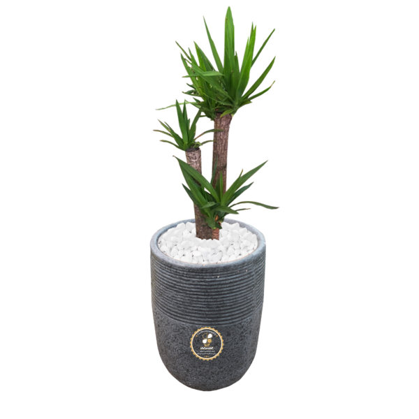 گیاه طبیعی یوکا سه غلاف گلباران سبز گیلان مدل GN1-FANM1