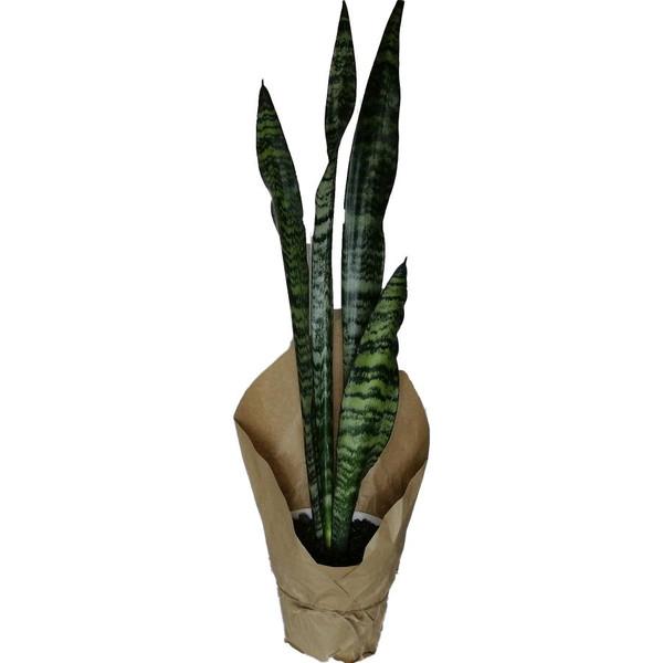 گیاه طبیعی سانسوریا سبز کد qq02