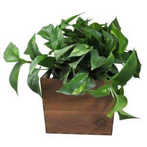گیاه طبیعی پوتوس ناردونه کد M01