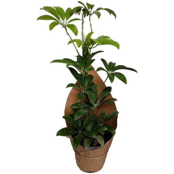 گیاه طبیعی شفلرا کد gs05