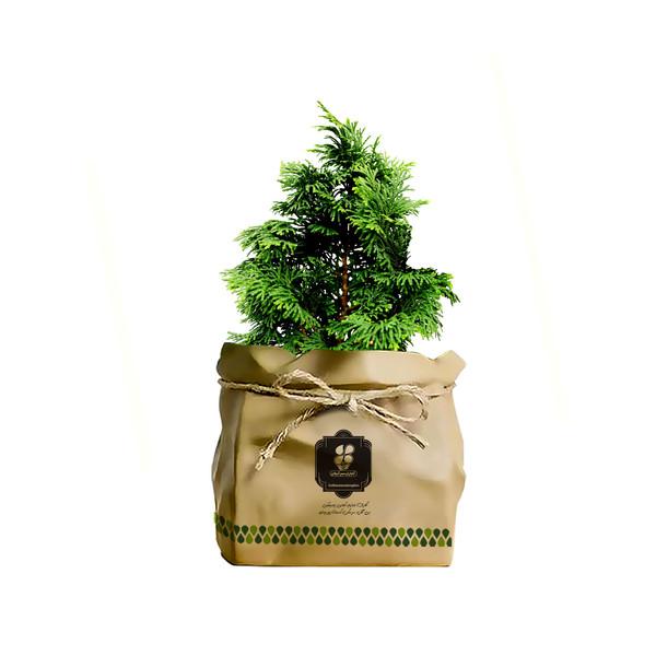 گیاه طبیعی کاج تویا آمریکایی گلباران سبز گیلان مدل GN13-49K