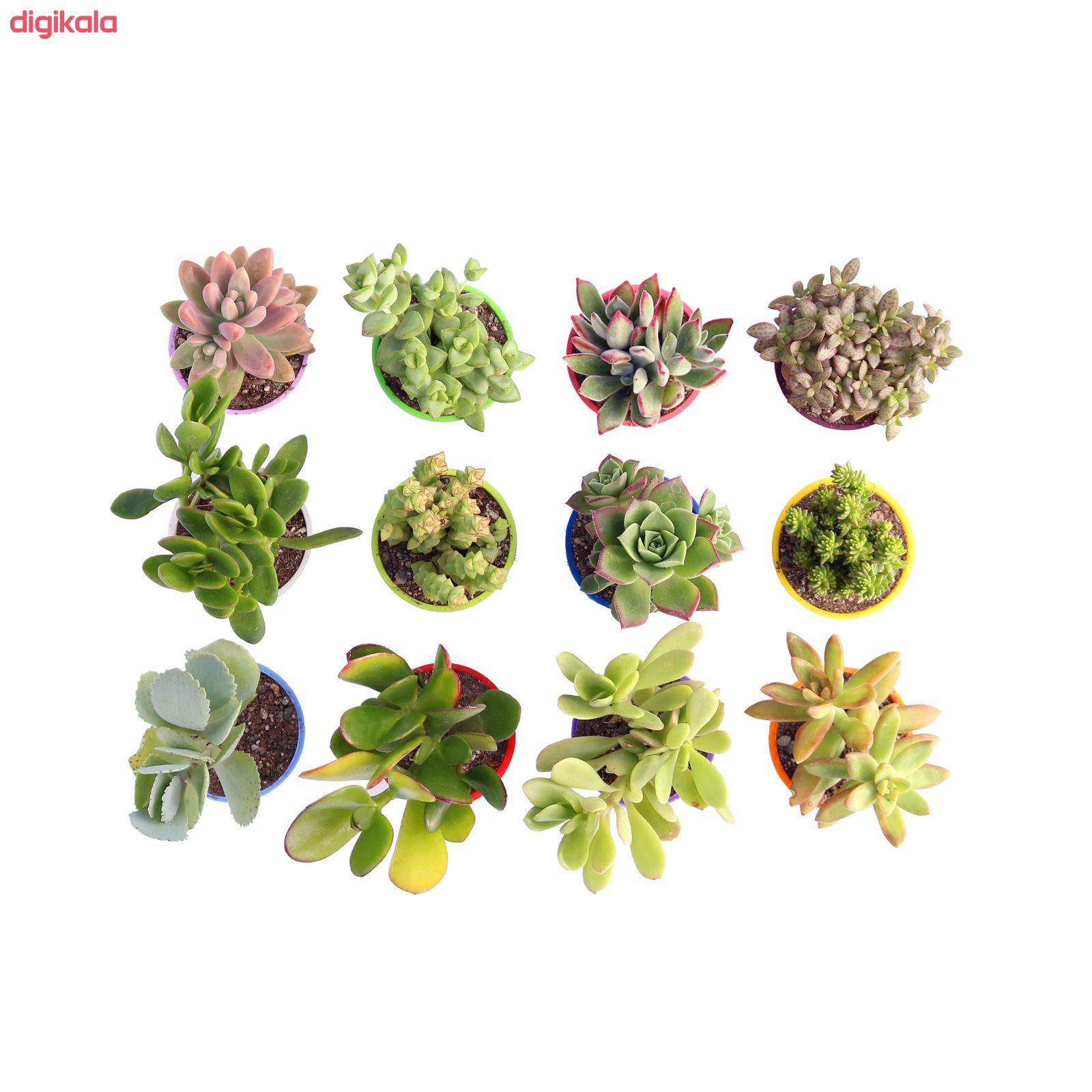 گیاه طبیعی ساکولنت آیدین کاکتوس کد CB-003 بسته 12 عددی main 1 1