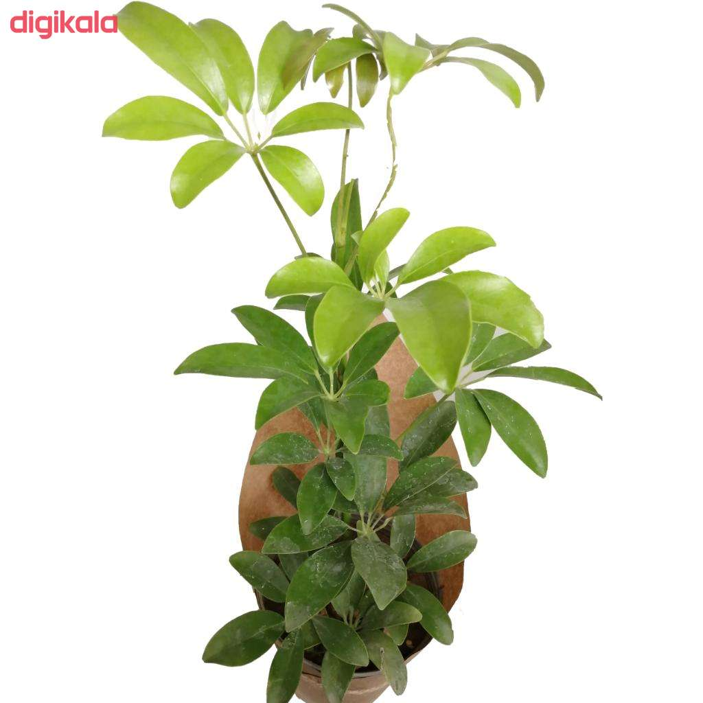 گیاه طبیعی شفلرا کد gs05  main 1 1