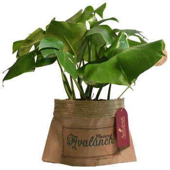 گیاه طبیعی برگ انجیری تخت کد P.A.028