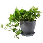 گیاه طبیعی پتوس مدل P-12 thumb