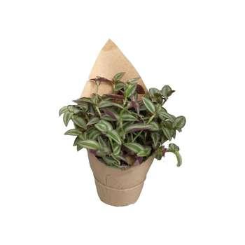 گیاه طبیعی برگ بیدی کد gs08
