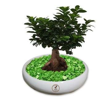 گیاه طبیعی بونسای فیکوس جینسینگ ، رتوزا گلباران سبز گیلان مدل GNB1-FG4