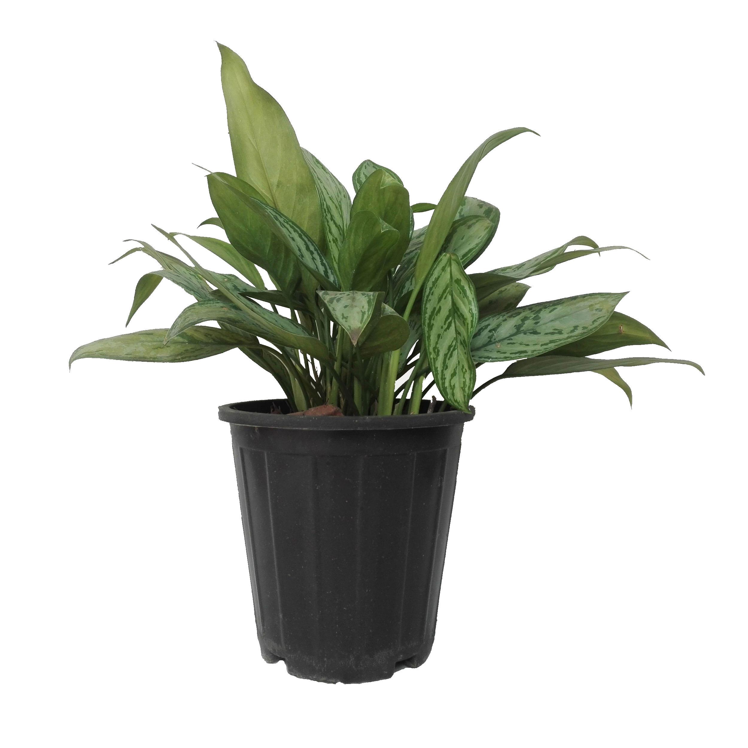 گل طبیعی اگلونما سبز کد 107