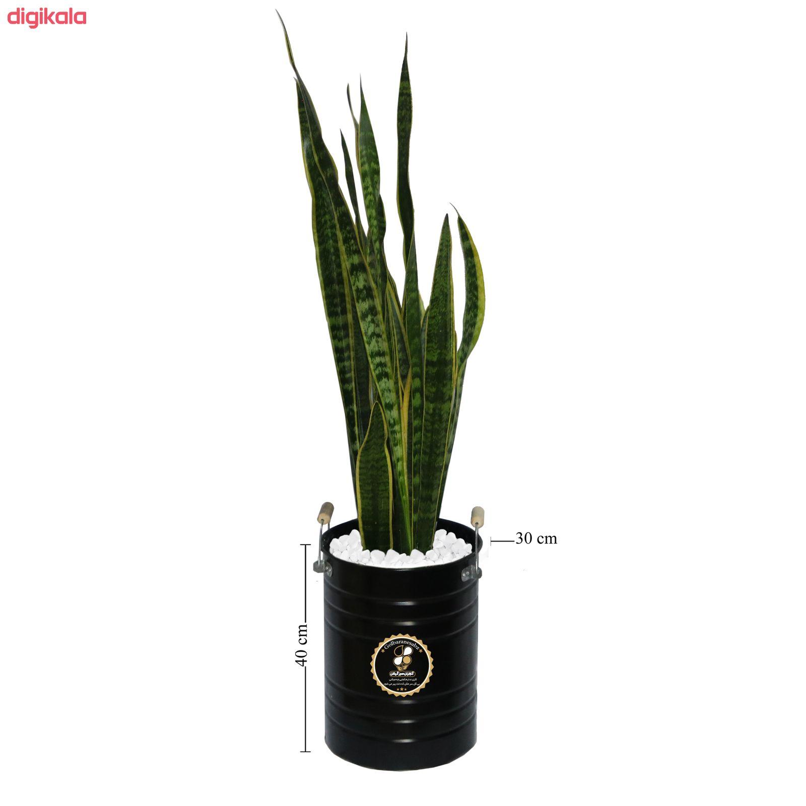 گیاه طبیعی سانسوریا شمشیری گلباران سبز گیلان مدل GN13-26MXL main 1 1